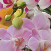 Beautiful white and pink  orchid - phalaenopsis