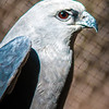 Mississippi Kite raptor bird