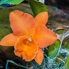 orange orchid cattleya close up