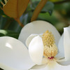 Detailed view of white magnolia flower.