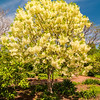 White, fleecy blooms  hang on the branches of fringe tree