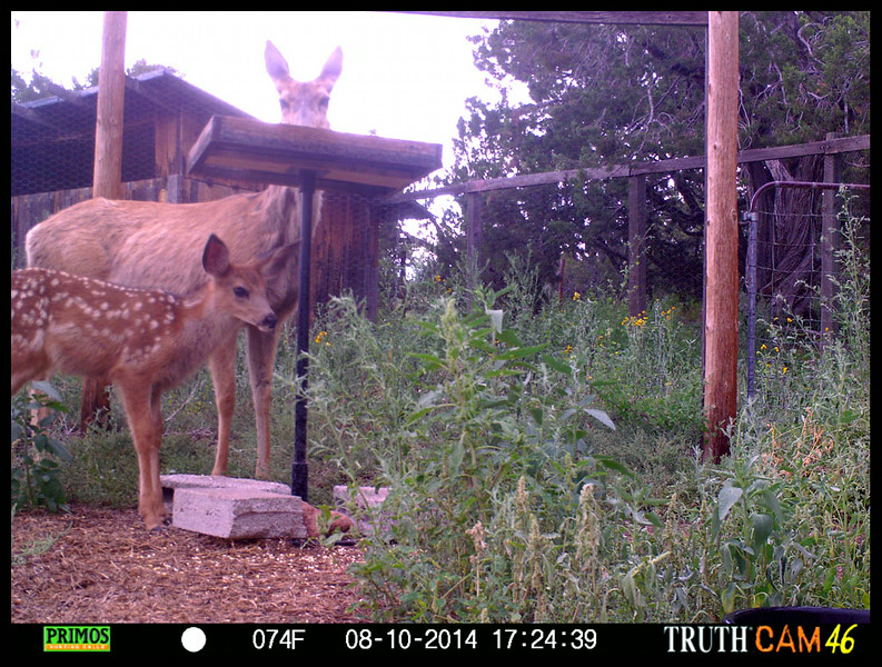 2014 Edition Mule Deer Fawn (Photo by game camera)