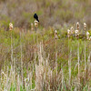 Red-winged blackbird in the Canaan Valley