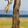 Masai Mara | Kenya Cheetah cub jumping down from a tree used as shelter, after an almost lethal chase by a hyena