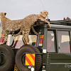 Masai Mara | Kenya Cheetahs resting on a safari 4WD car. Pretty harmless, right?