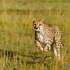 Masai Mara | Kenya Cheetah ready to go about chasing