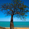 Boab Tree in Broome