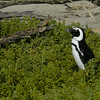 African Penguins_2, South Africa