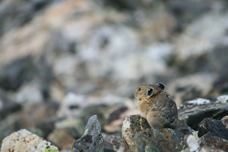 Pika; Guardian of the Rock