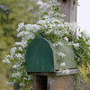 Clematis on a Country Mailbox