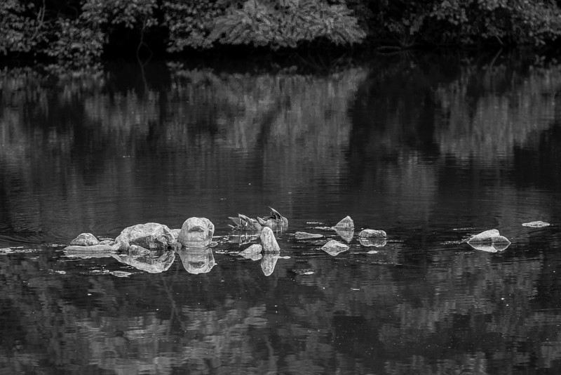Mallards in the Rocks, Black and White