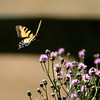 Eastern Tiger Swallowtail on Thistle