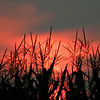 Sunset In The Corn