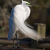 Great Egret at Gatorland, FL