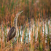 American Bittern at first light at the Vierra Wetlands, Fl