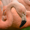 Flamingo at the Cleveland Metroparks Zoo