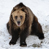 Grizzly Bear - Thanksgiving at the Cleveland Metroparks Zoo