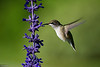 Thuya Garden, Northeast Harbor, Ruby-throated Hummingbird, Colibri à gorge rubis
