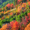 Fall colors peak in Park City, UT.  Every September - October in Park City, the aspens display their colors with vivid intensity.  It is one of the most beautiful times of the year in the Wasatch Mountains.