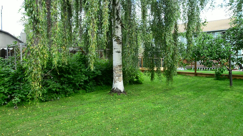 Unedited HD Video Clip: A Special Tree, Alaska Weeping Birch.