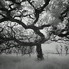 Oak tree, Isle of Islay, Scotland