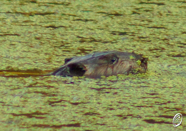 Beaver in our pond