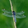 Dragonfly blue white dots