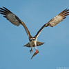 Osprey plus fish