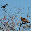 Osprey, fish and the crow