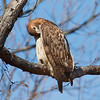 Another photo of preening red-tailed hawk