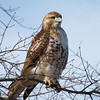 Red-tailed hawk sitting on a tree on Stony Brook Campus.