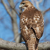 Young red-tailed hawk posing on a branch