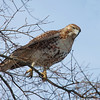 Red-tailed hawk preparing to take off from the branch