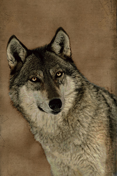 The eyes of a grey wolf.................to purchase - http://dan-friend.artistwebsites.com/featured/the-eyes-of-a-grey-wolf-dan-friend.html?newartwork=true