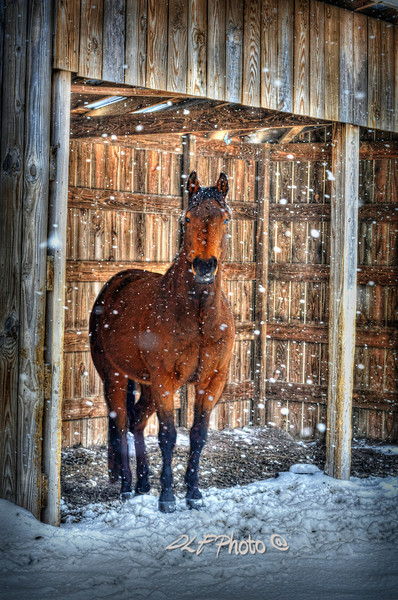 Horse looking out at snow falling  to purchase - http://dan-friend.artistwebsites.com/featured/horse-and-snow-storm-dan-friend.html