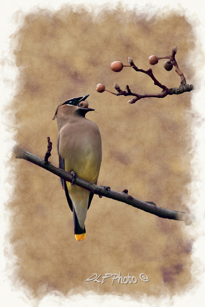 Cedar Waxwing eating berries in tree  to purchase - http://dan-friend.artistwebsites.com/featured/mouthful-dan-friend.html?newartwork=true