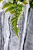 Fern in ice  to purchase - http://dan-friend.artistwebsites.com/featured/fern-in-ice-dan-friend.html?newartwork=true