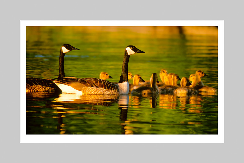 Canada Geese at Sunset