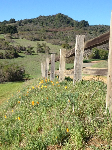 Poppies on Fremont Older Trail
