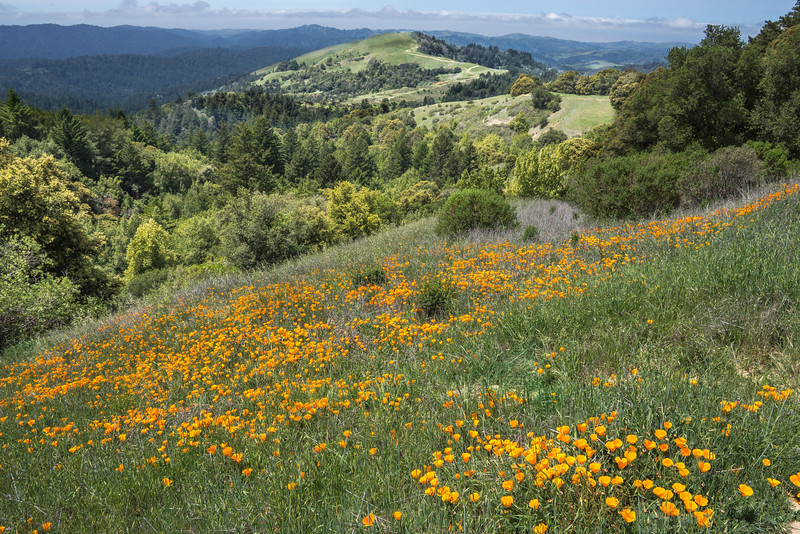 Poppies and Mindego Hill