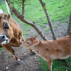 Spring Branch and Mother and Baby Cow