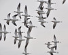 L Ames - America Avocets swirling overhead - Ravenswood Open Space Preserve Category: Wildlife