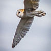 I'm Watching You...  Barn Owl  (Tyto alba)
