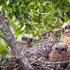 Mom and Triplets  Great Horned Owl  (Bubo virginianus)