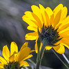 Western Sunflower