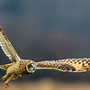 Short-eared Owl (Asio flammeus)  On the hunt...
