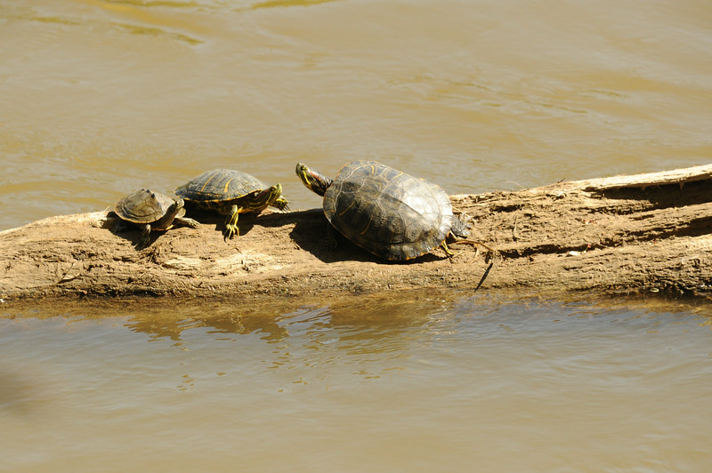 Three turtles sunning on a log, Wabash River, along Healthy Rivers Initiative property South of I-70
