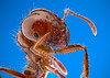 Solenopsis invicta - fire ant worker