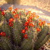 Photo #74 of 365 - Cactus Flowers on Fire!