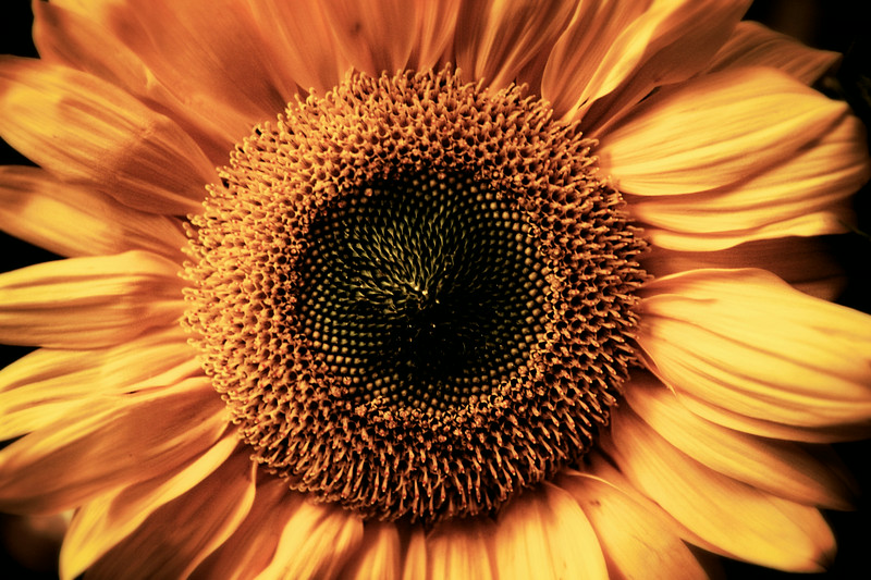 jun12-sunflower-center
